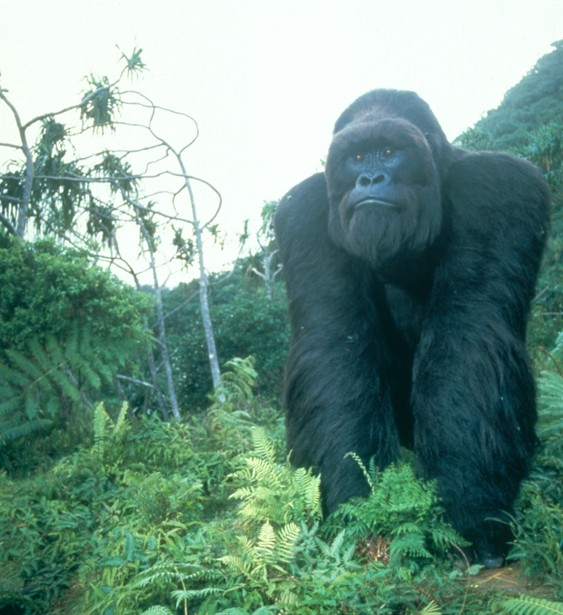 Mighty Joe Young  Disney Wiki  FANDOM powered by Wikia